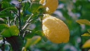 limone frutta albero
