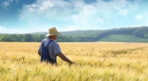 Farmer walking through a golden wheat field