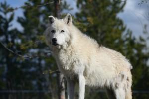 wolf-226015_640